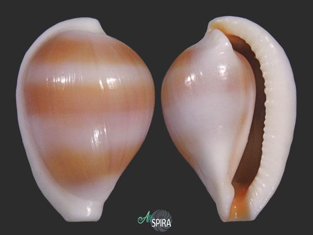 Margovula tinctilis