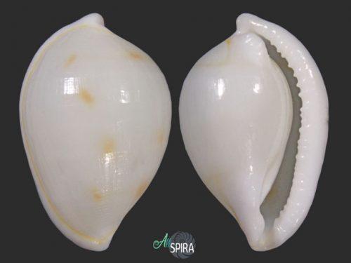 Diminovula cf aurantiomacula