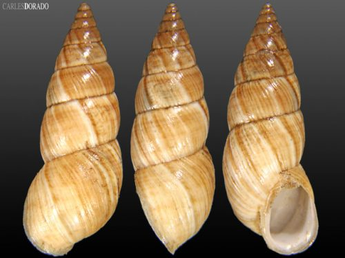 Bostryx alausiensis
