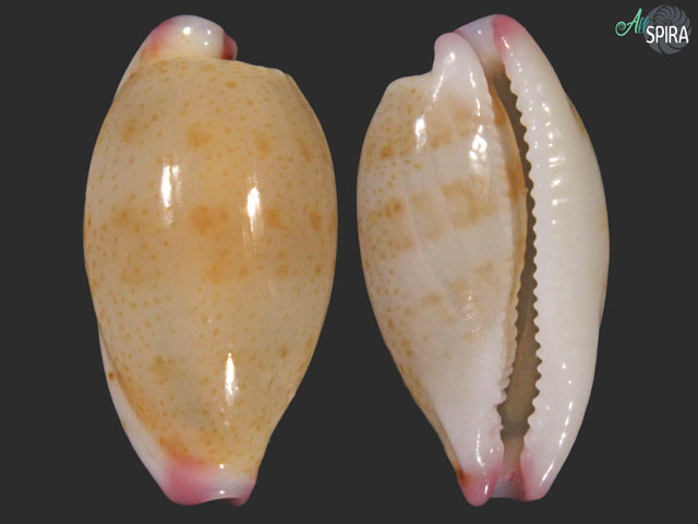 Purpuradusta microdon