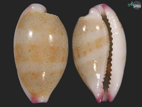Purpuradusta microdon