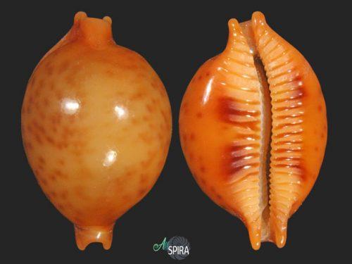Pustularia globulus sphaeridium