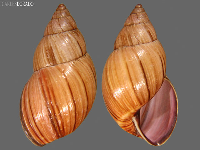 Drymaeus abscissus