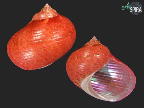 Pseudostomatella papyracea