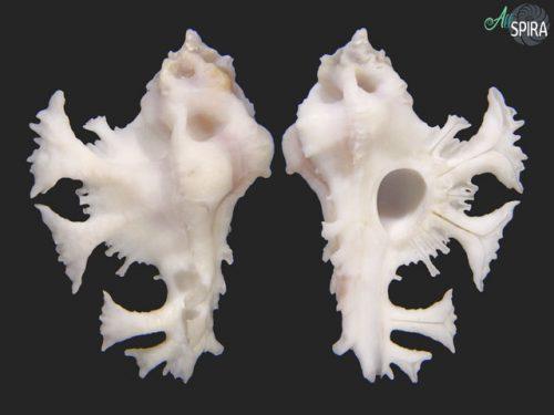 Homalocantha pele