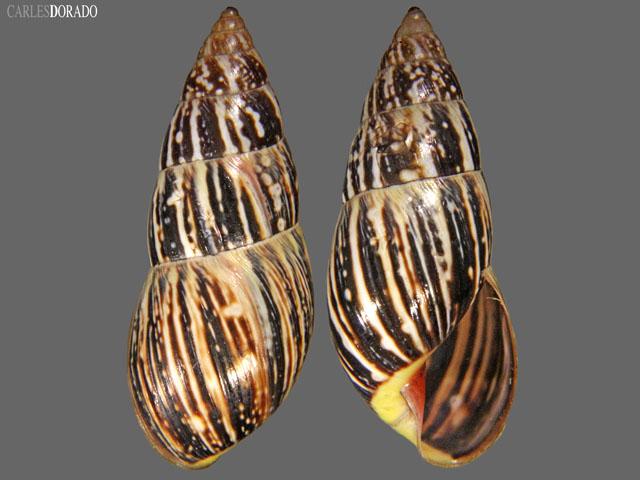 Drymaeus loxanus
