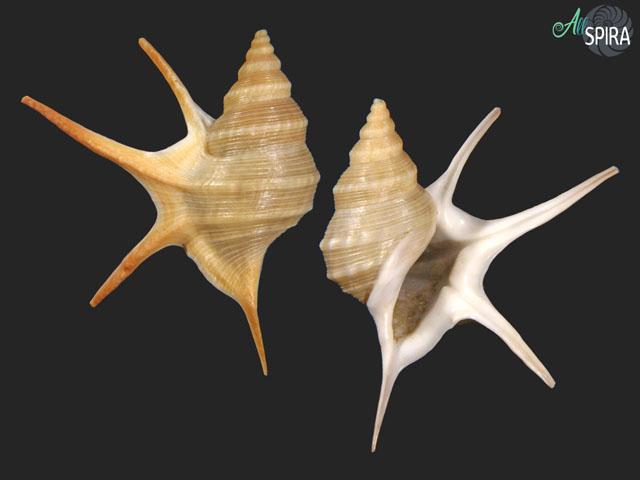 Aporrhais pesgallinae