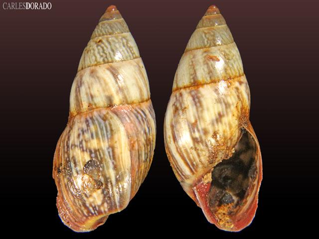 Drymaeus rubrovariegatus