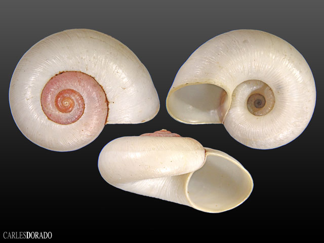 Aperostoma fischeri