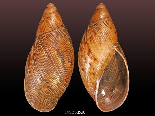 Plekocheilus floccosus