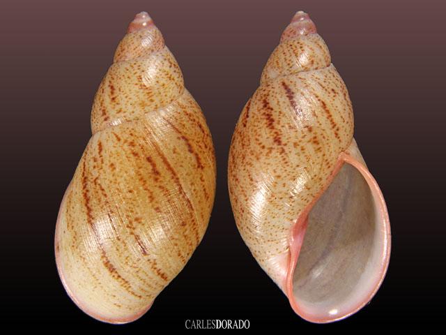 Plekocheilus cf lynciculus