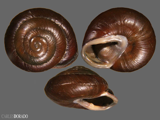Isomeria loxensis
