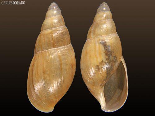 Euglandina sp