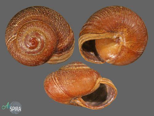 Urocyclidae