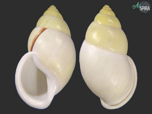 Amphidromus heerianus