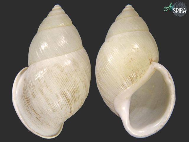 Amphidromus palaceus tanggamusensis