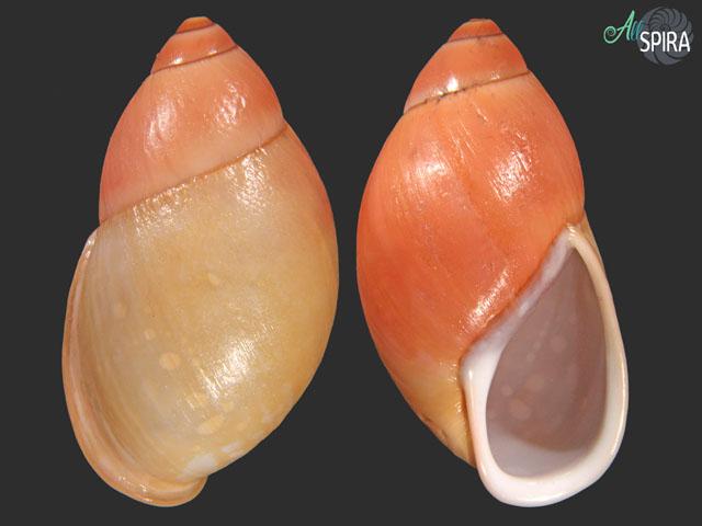 Mirinaba erythrostoma