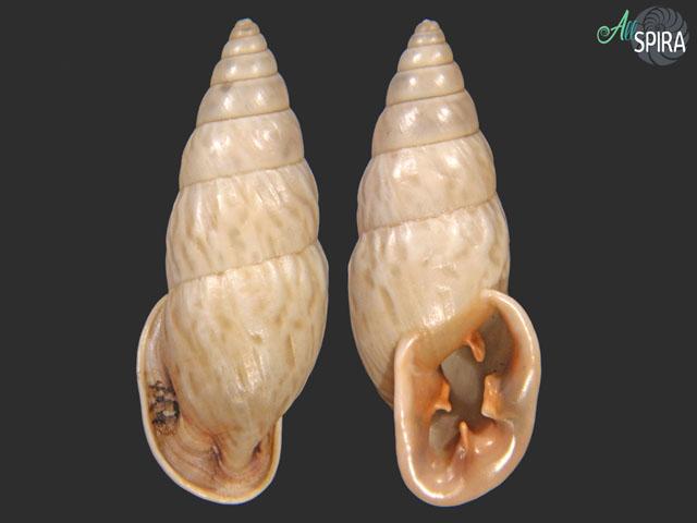 Odontostomus exesus