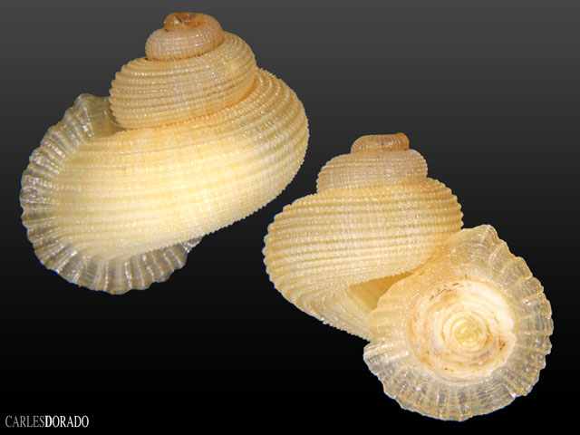 Annularia fimbriatula