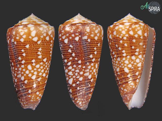 Conus nobilis victor