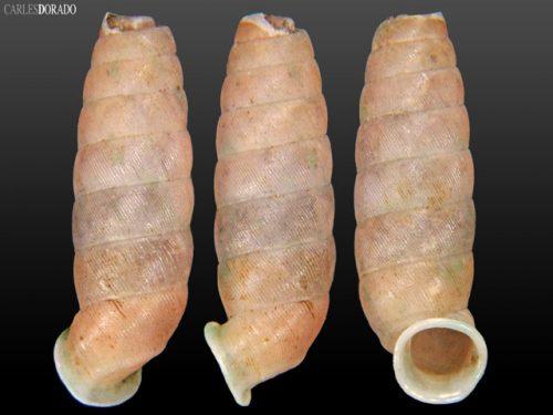 Urocoptis dubia