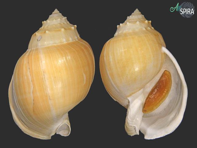 Echinophoria wyvillei