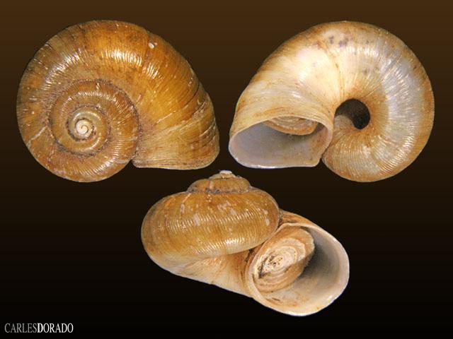 Neocyclotus dysoni berendti