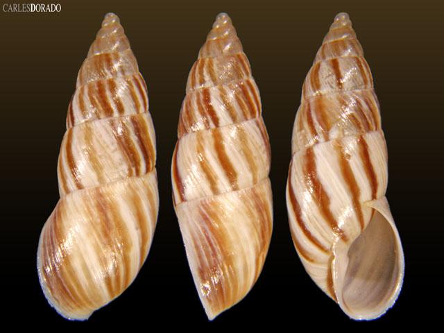 Bostryx chagualensis