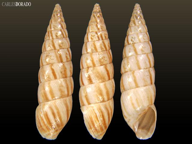 Bostryx claviformis