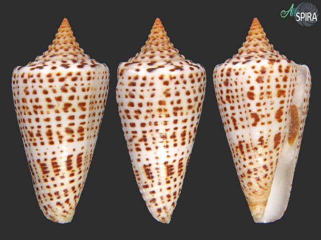 Conus spurius quadratus