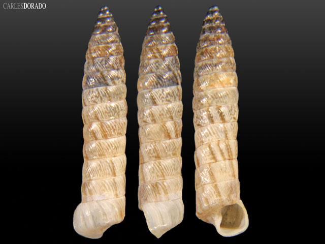 Bostryx louisae