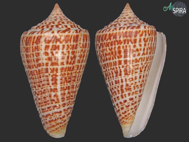 conus spurius-phlogopus