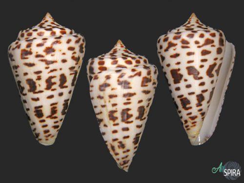 Conus spurius bayleyi