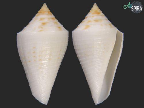 Conus finkli