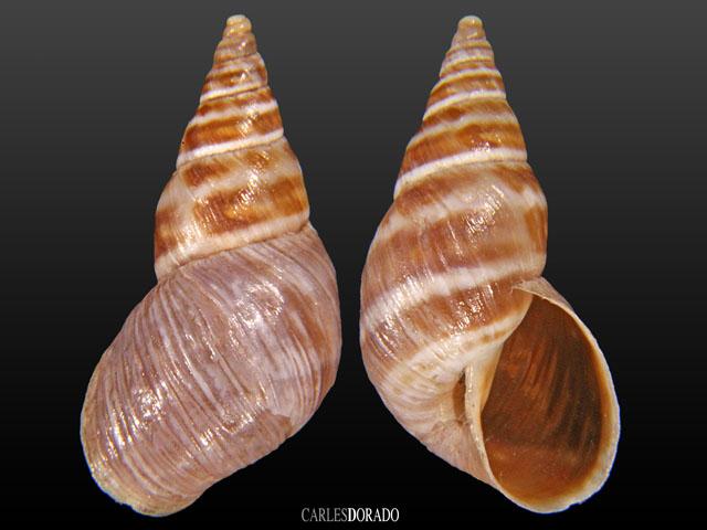 Bostryx obliquiportus