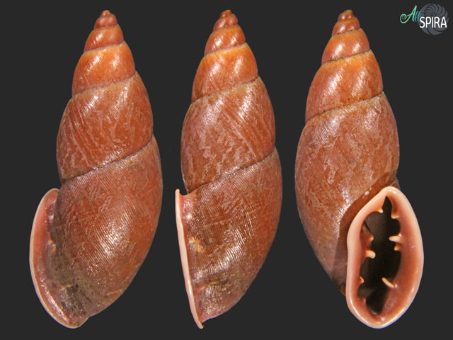 Macrodontes paulistus