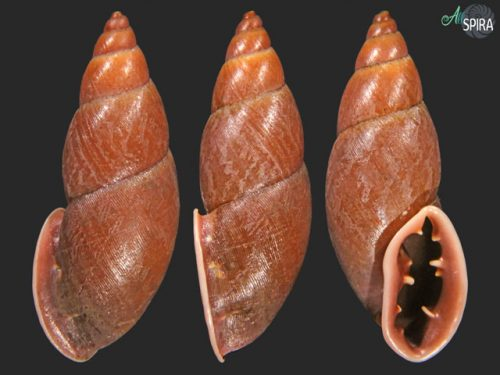 Odontostomidae
