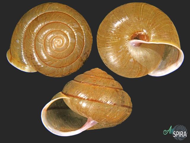 Coniglobus pekanensis