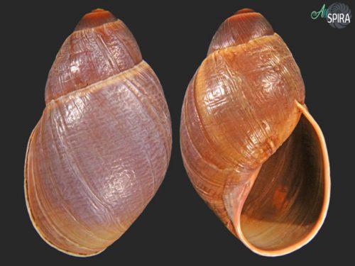 Megalobulimus separabilis