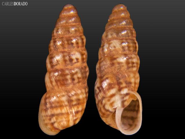 Bostryx tschudii