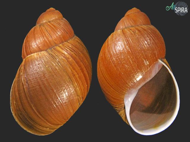 Megalobulimus lichtensteini
