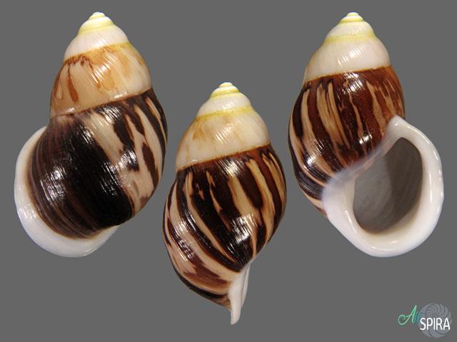 Amphidromus costifer