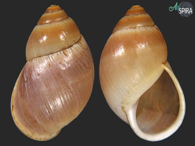 Paeniscutalus crenellus