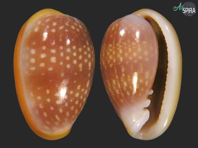 bullata-largillieri