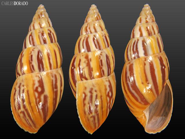 Drymaeus scitulus cochambalensis