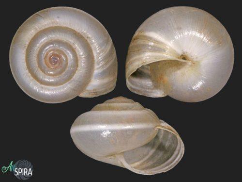 Hygromiidae