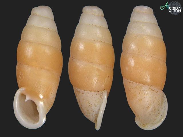 Liparophaedusa freyi