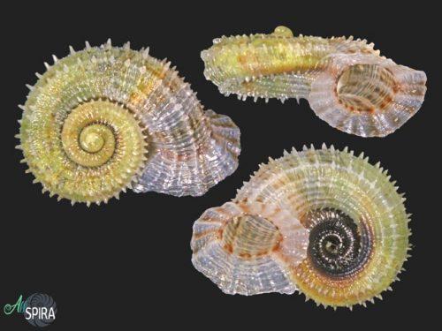 Annulariidae