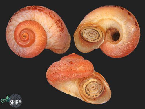 Neocyclotidae