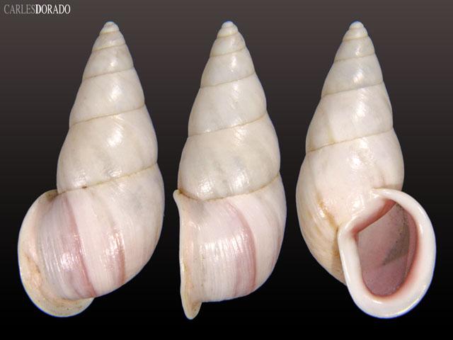 Drymaeus strigatus sp